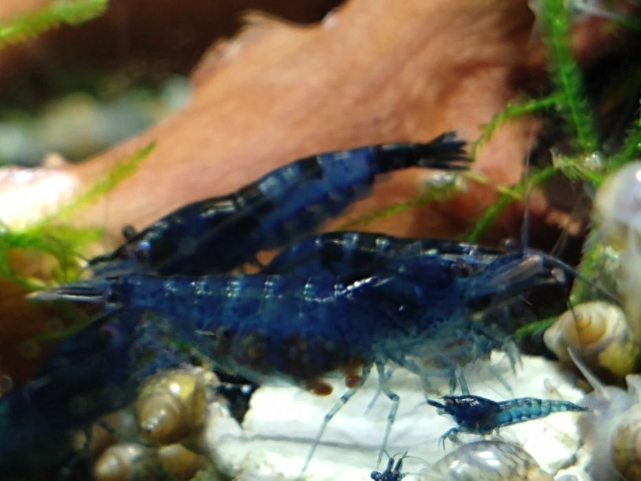 Krewetki/krewetka/Neocaridina Blue Velvet/raki do akwarium Toruń - image 1