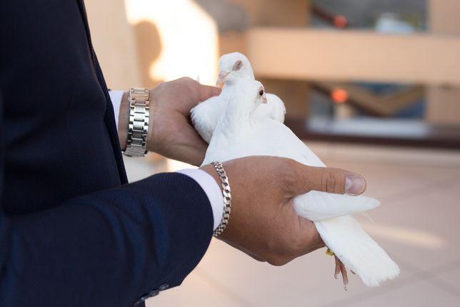 Gołębie białe na ślub,