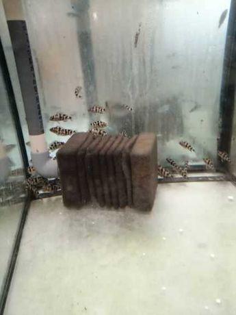 Pyszczak - placidochromis  milomo -5 cm - wysyłam