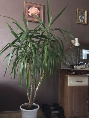 Юкка юка дерево из трёх веток