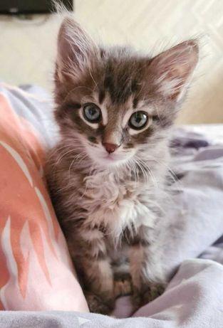 Котенок Тома пухнаста сіра неймовірна муркотуха 2,5м.