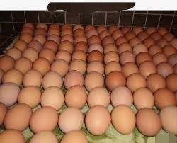 Jajka wolny wybieg