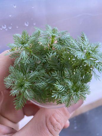 Аквариумные растения даром. Без СO2.