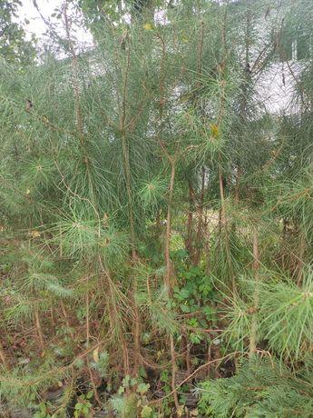 Pinheiros mansos envasados