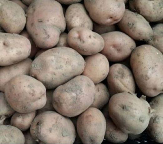 Ziemniaki jadalne-sadzeniaki irga asterix gala
