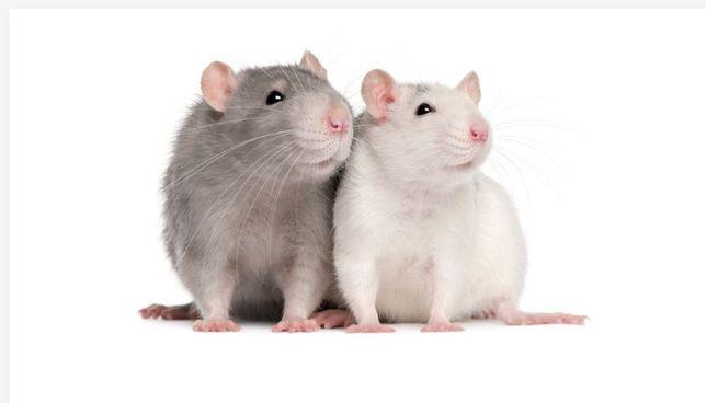Szczury mrożone i żywe. Karma dla węża