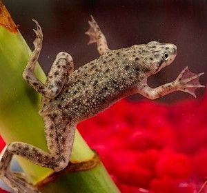Żaba karlik szponiasty