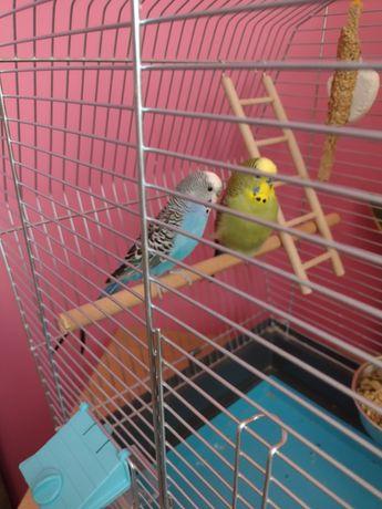 Dwie papugi faliste