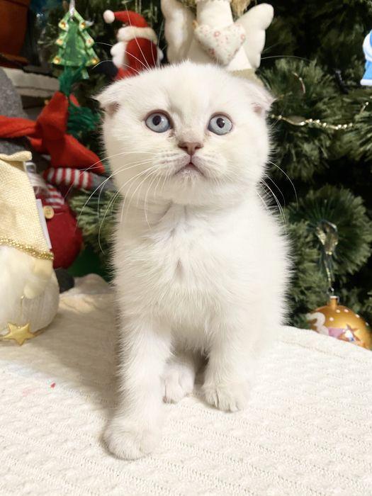 Милі шотладські кошенята під ялинку Винница - изображение 1