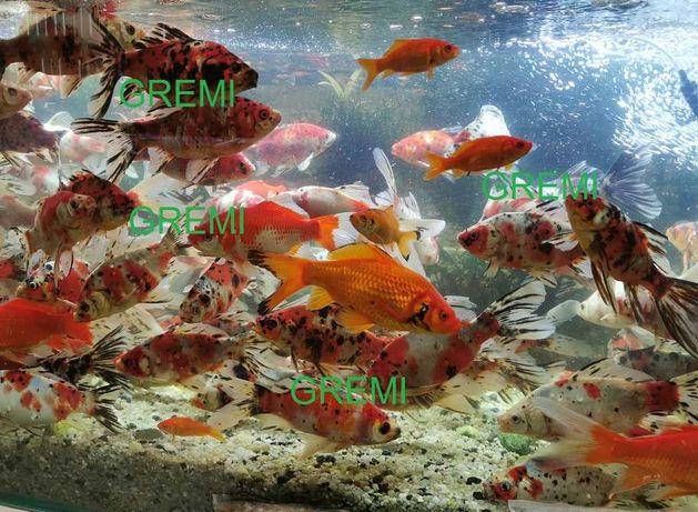 Duże ładne ozdobne karasie ryby do oczka wodnego ,stawu.