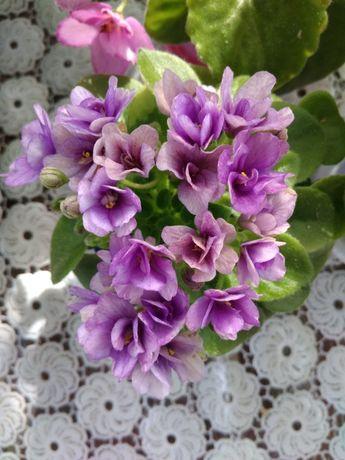 Фиалки. Комнатные цветы