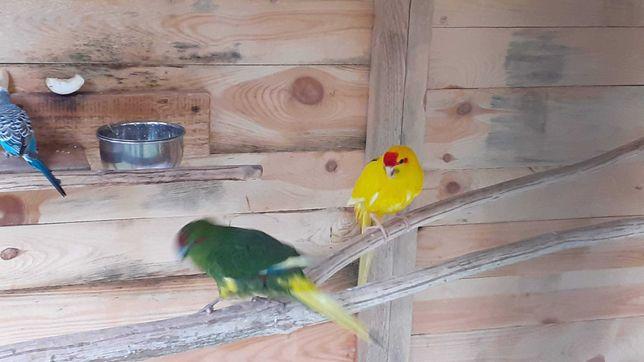 Zaginęła żółta papuga