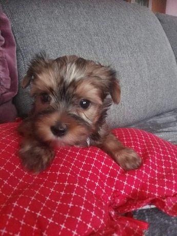Sunie yorkshire terrier golddust-AKTUALNE!