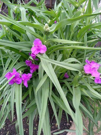 Многолетние цветы! Садовые! Разные! Не дорого