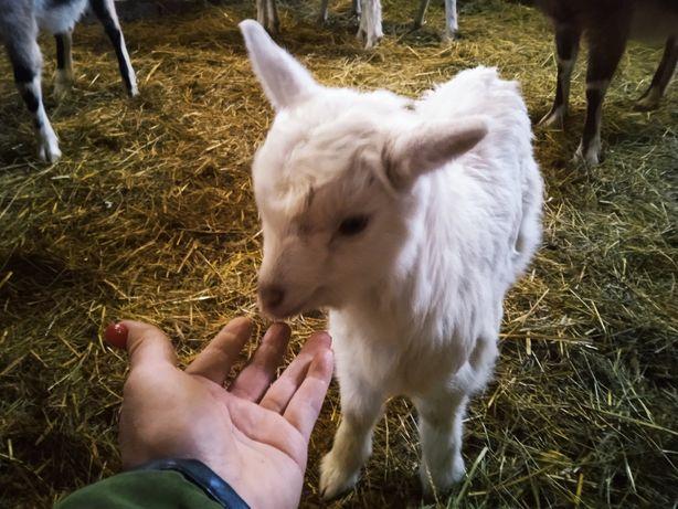 Obornik nawóz oddam: kurzy, kozi, króliczy