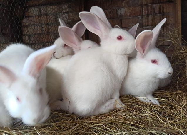 Termondzki biały termodzkie białe królik króliki