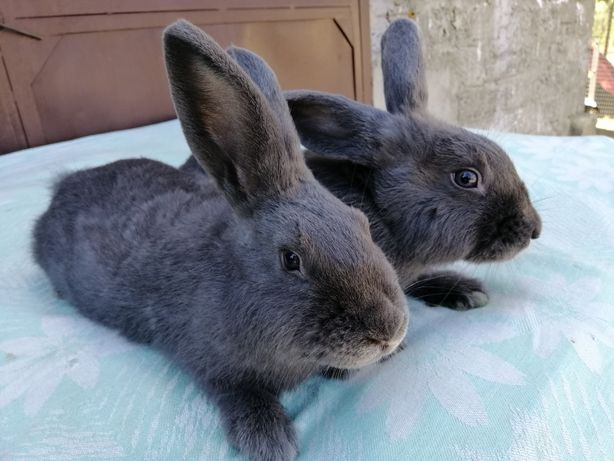 Кролики Венский голубий