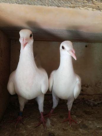 Gołębie ozdobne,białe pocztowe