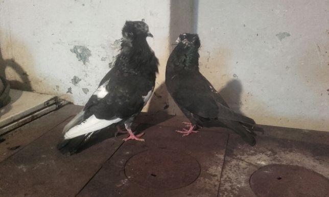 Gołębie Garłacze