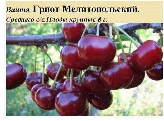 Подам саженцы вишни
