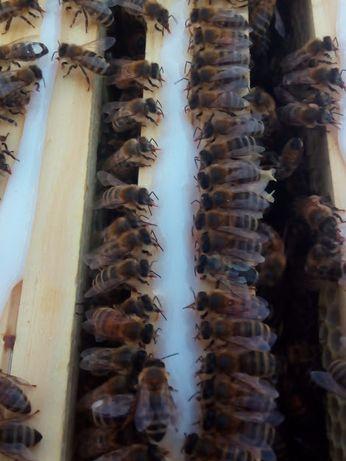 Przezimowane matki pszczele, matka pszczela, pszczoły