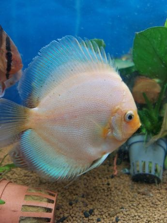 Ryby dyskowce /paletki