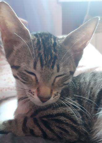 Kot orientalny pregowany