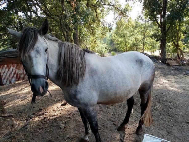 Procuro Cavalo montado manso capado