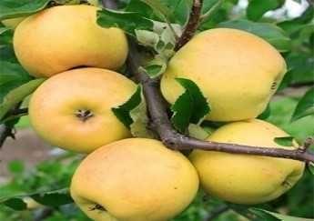 органічні яблука