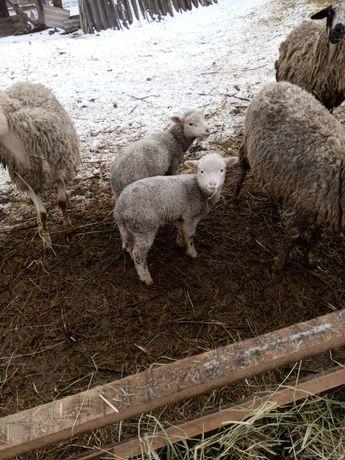 Ягнята, овцы, Приднепровская мясная