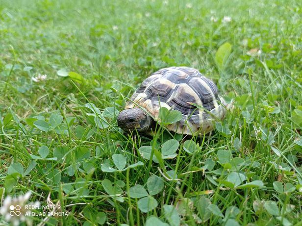 Zaginął żółw grecki