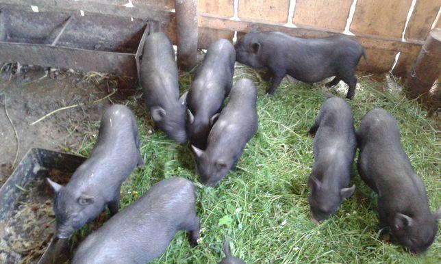 вьетнамские поросята свиньи