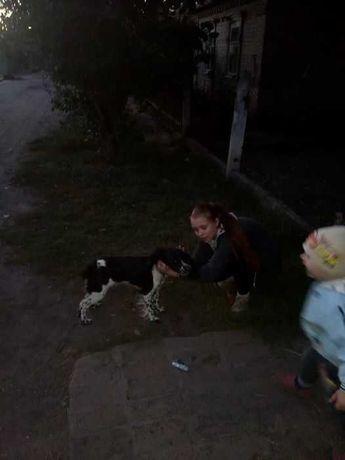 пропала собака русский спаниєль
