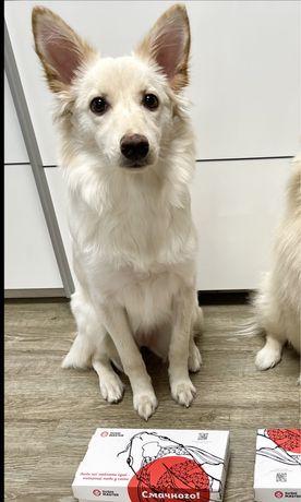 Собака щенок в добрые руки  мини версия швейцарской белой овчарки