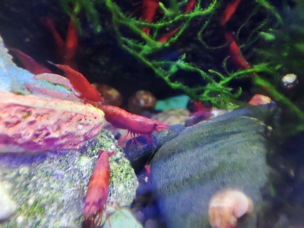 Red cherry chrimp ( camarões )