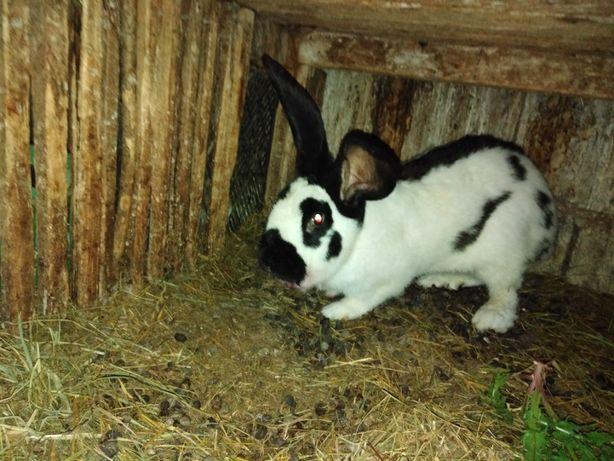 króliki PIĘKNE MŁODE różne rasy