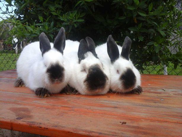 Каліфорнійські кролики