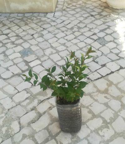 Arbustos vedação, Lingustrum Japonicum Hedging ou sebe.
