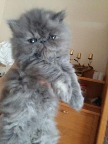 Śliczna koteczka Perska