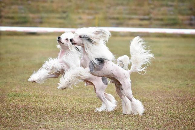 Шикарные щенки Китайской Хохлатой!На фото папа и брат