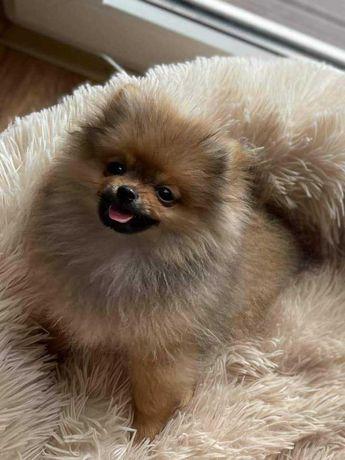Pomeranian malutki piesek