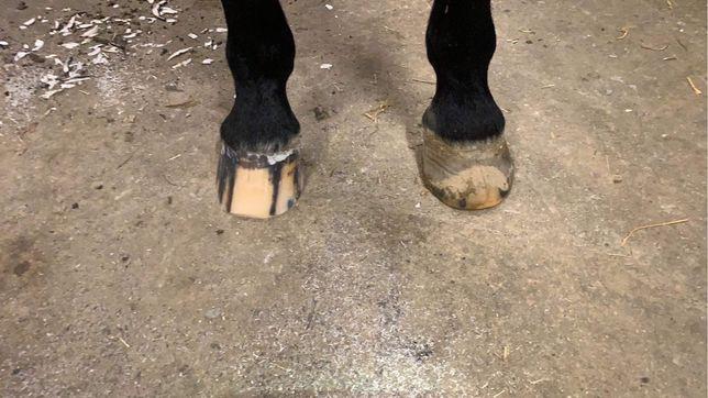 Podkuwanie i werkowanie koni, Gabinet