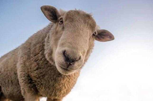 Owce dużą sprzedam
