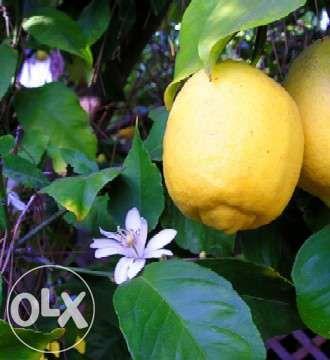 Limão fruto
