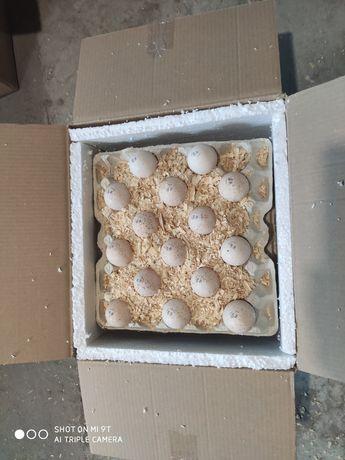 Яйца Индюка инкубационные с печатью от птицефабрик Венгрии Хайбрит Биг