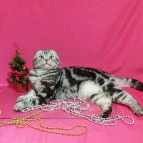Вислоухий красивейший  котик на вязку.