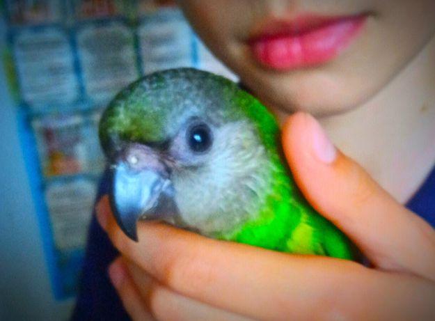 Синегальский папуга