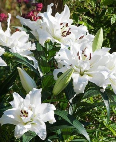 Cebule kwiatowe - lilie