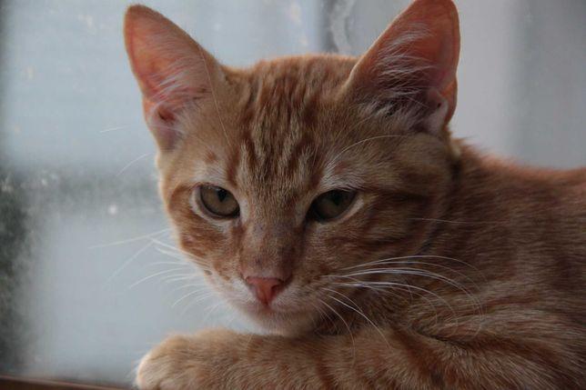 Рыжий котик в дар в добрые руки