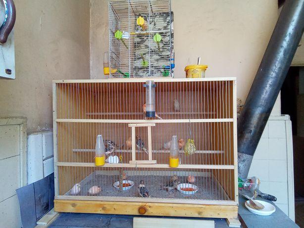 Ptaki kanarki młode